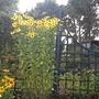 Helianthus 'Riverton Beauty' (Helianthus)