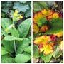 Primula veris (Primula veris (Cowslip))