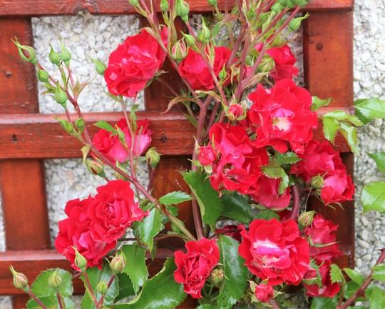 'Rambling Rosie' is still flowering away