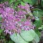 Allium carinatum subsp. pulchellum (Allium carinatum (Keeled Garlic) pulchellum)