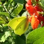 On this lovely sunny day a Brimstone Butterfly on the runner bean flowers.
