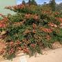 Bauhinia galpinii - Red Bauhinia (Bauhinia galpinii - Red Bauhinia)