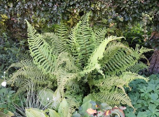 Nice Fern (Dryopteris cristata)