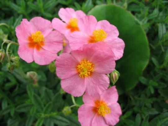 Lawresons Pink Rock Rose (Helianthemum)