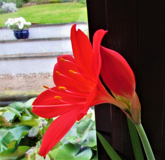 Amaryllis Beladona Red (Amaryllis belladonna (Belladonna lily))