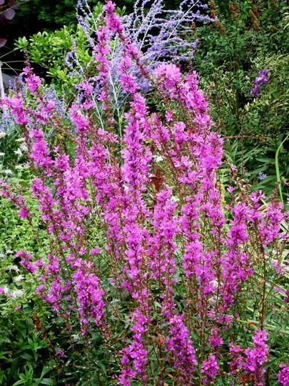 Lythrum virgatum      Rosy Gem