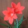 The second Amaryllis flower opened today.  (Amaryllis belladonna (Belladonna lily))