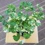Pelargonium Charmay Snowflake.....for my file. (Pelargonium capitatum Chairman Snowflake.)
