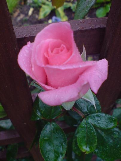 climbing rose 'high hopes' (Rosa 'High Hopes')