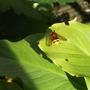 Hornet Mimic Hoverfly Volucella zonaria