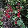 Lobelia 'Queen Victoria' (Lobelia cardinalis (Cardinal flower))