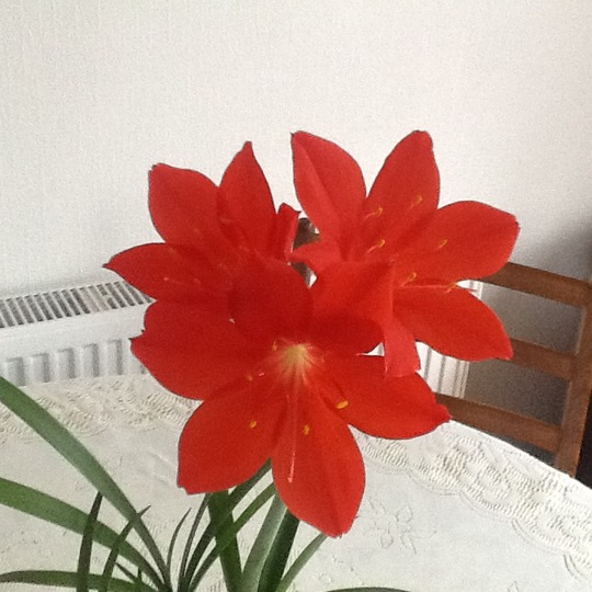 Third flower opened yesterday. :o) (Amaryllis belladonna (Belladonna lily))