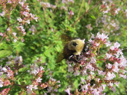 Oregano and bumblebee
