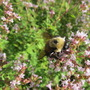 Oregano and bumblebee