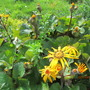 first of many blossoms to come on Ligularia dentata Othello