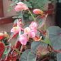 Hardy Begonia (Begonia grandis (Begonia) ssp evansiana)