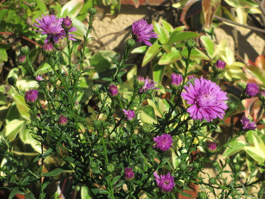 Aster division (update) (Aster amellus (Aster))