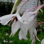 Acidanthera... beautiful even in the rain.
