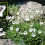 Erodium_cheilanthifolium