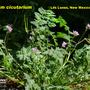 Erodium cicutarium (Erodium cicutarium)
