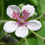 Erodium trifolium close (Erodium trifolium)
