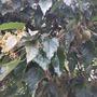 Aleurites moluccana - Kukui Nut, Candlenut Tree (Aleurites moluccana - Kukui Nut, Candlenut Tree)