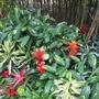Guzmania, Dracaena, Neoregelia and Ctenanthe species (Guzmania, Dracaena, Neoregelia, Ctenanthe)