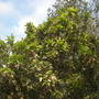 Syzygium samarangense - Wax Jambu (Syzygium samarangense - Wax Jambu)