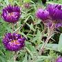 Symphyotrichum novae-angliae Violetta