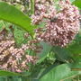 Asclepias in blossom