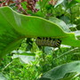 Monarch larva on leaf of Asclepias