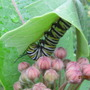 Monarch larva with flower buds (Asclepias)