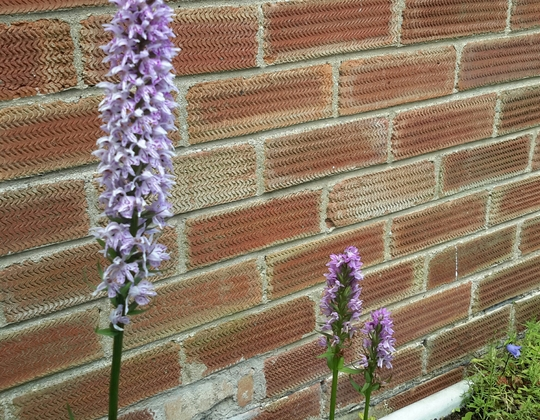 This Year's Back Garden Orchids.