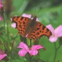 Comma Butterfly on Geranium 'Wargrave Pink'.