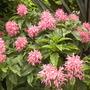 Justicia carnea - Brazilian Plume Flower Blooming (Justicia carnea - Brazilian Plume Flower)