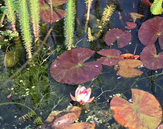 Water Lily! :)))