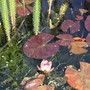Water Lily! :))) (Nymphaea 'Aurora')