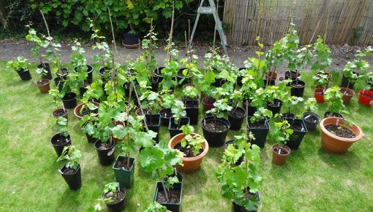 Grapevine cuttings potted up (Vitis vinifera (Grape vine))