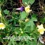 Snapdragons (Antirrhinum) Yellow flowering on balcony railings From outside 4th September 2017 003 (Antirrhinum majus)
