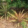 Ananas comosus  - Pineapple (Ananas comosus  - Pineapple)