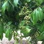 Dimocarpus longan - Longan or Dragon's Eye (Dimocarpus longan - Longan or Dragon's Eye)