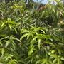 Dwarf Mango Tree  (Mangifera indica) (Mangifera indica (Mango))