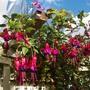 Unknown Fuchsia over 6 feet tall on a trellis !