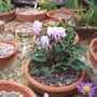 Cyclamen graecum ssp graecum