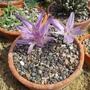 Colchicum agrippinum (Colchicum agrippinum)