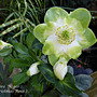 Hellebore Niger  (Christmas Rose ) bit early.