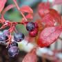 Blueberries (vaccinium corymbosum)