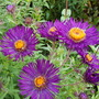 Aster Violetta (other name too long!)