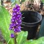Blue Ginger (Dichorisandra thyrsiflora) (Dichorisandra thyrsiflora - Blue Ginger)