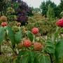 Cornus Kousa berries ripening